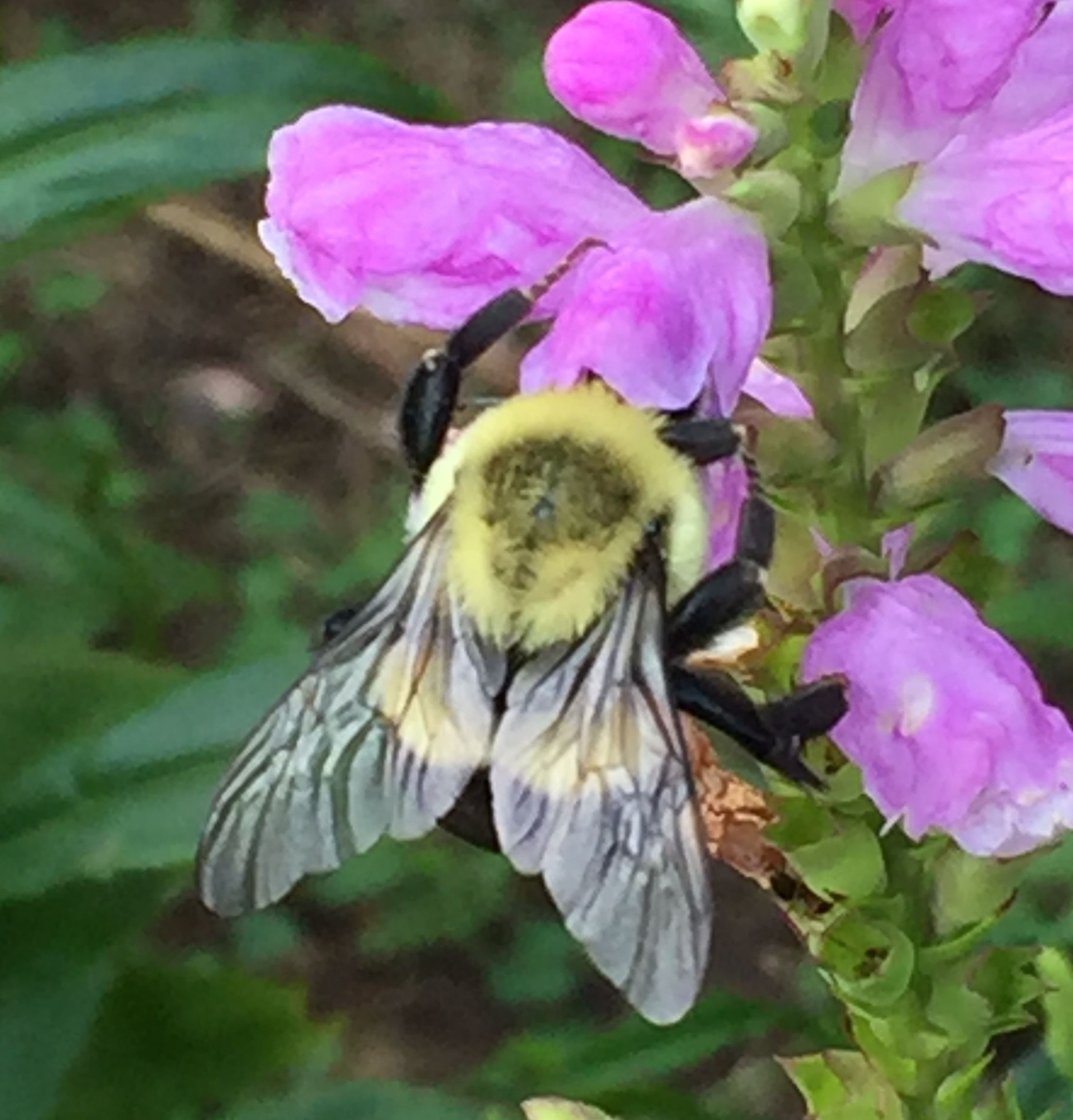 A bumble bee on a pink flower