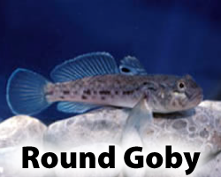 Round Goby