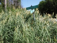 Phragmites in Summer